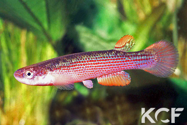 Anablepsoides rubrolineatus