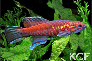 Callopanchax occidentalis Kabak GM 97-04 mâle adulte