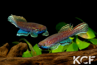 Callopanchax occidentalis Mangata GM 97-03 groupe / couple adulte