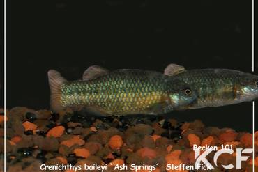 Crenichthys baileyi baileyi Ash springs groupe / couple adulte