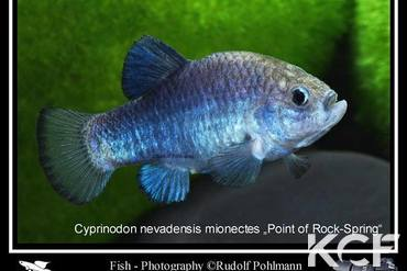 Cyprinodon nevadensis mionectes Point of Rocks-Spring US-KN 2009 mâle adulte