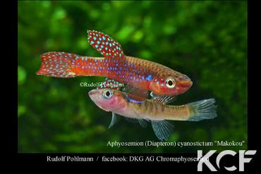 Diapteron cyanostictum Makokou groupe / couple adulte