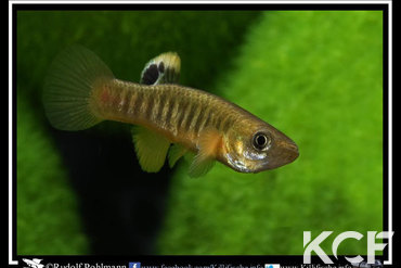 Fundulus luciae Little-River SC mâle adulte