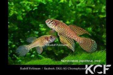 Nematolebias papilliferus Inoa groupe / couple adulte