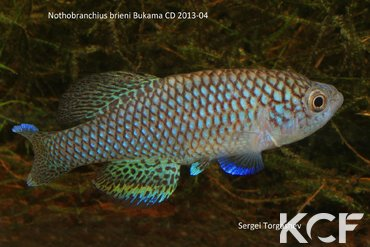 Nothobranchius brieni