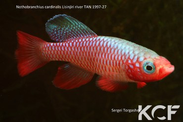 Nothobranchius cardinalis Lisinjiri River TAN 97-27 mâle adulte