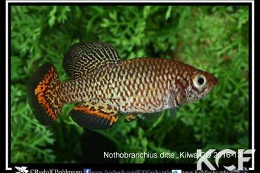 Nothobranchius ditte
