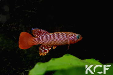 Nothobranchius flammicomantis