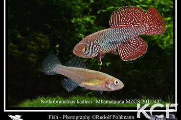 Nothobranchius kadleci