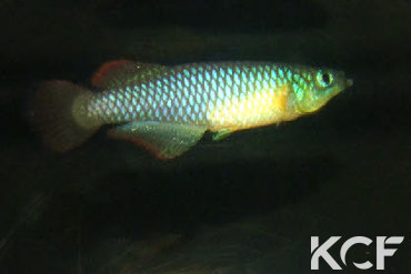 Nothobranchius luekei