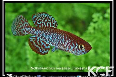 Nothobranchius malaissei