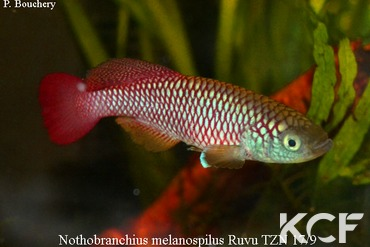 Nothobranchius melanospilus