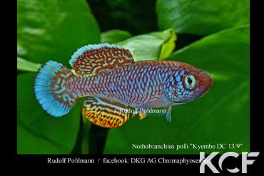 Nothobranchius polli