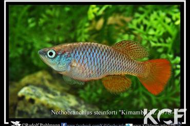 Nothobranchius steinforti