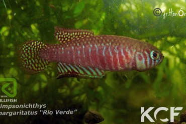 <strong>Simpsonichthys</strong> <em>margaritatus</em> <small>Rio Verde BR MPM 12-07</small>